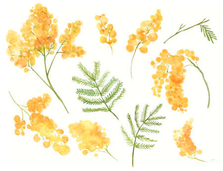 Yellow mimosa flowers. Watercolor acacia branches and twigs with leaves. Spring painted flowers for 8 march isolated on white backgound.