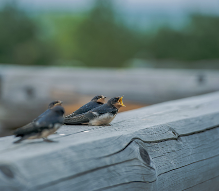 Swallow chicks on a log swallows nature of the Far East of Russia Banco de Imagens - 91593521