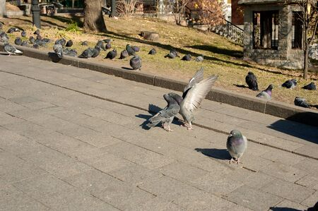 photo pigeons kiss spread their wings in an autumn square against the background of other pigeons