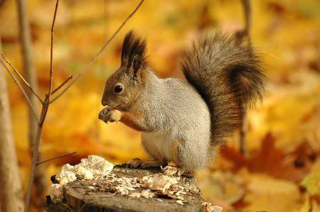 Squirrel gnaws nuts in an autumn wood Foto de archivo
