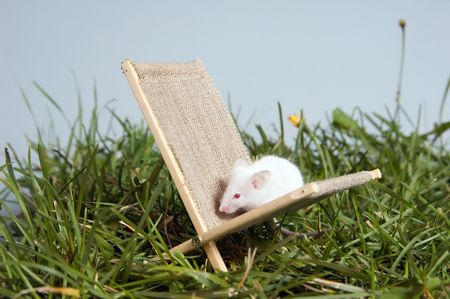 defenceless: A white mouse sitting in chaise lounge