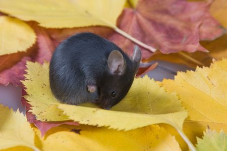 defenceless: Black mouse and autumn leaves Stock Photo