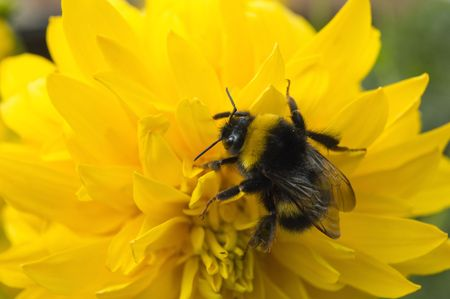 The shaggy bumblebee sits on a yellow flower Stock Photo - 3471719