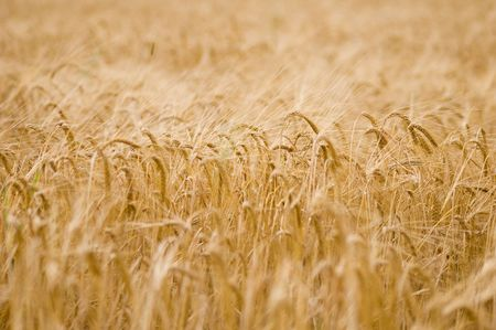 rural economy: Big field of a ripening rye Stock Photo