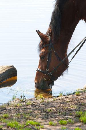 caballo bebe: cansado caballo bebe agua del r�o