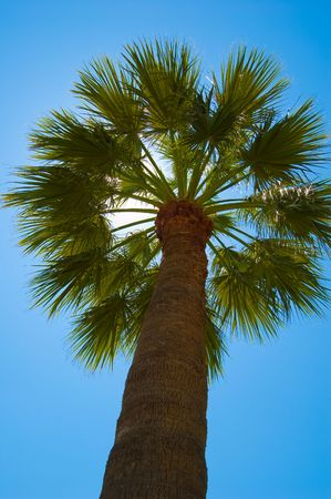 Fan palm tree against the blue sky Stock Photo