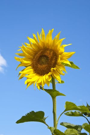 Yellow beautiful sunflower against the blue sky photo