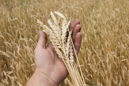 farme: Spighe di grano a portata di mano di un uomo. Un raccolto.