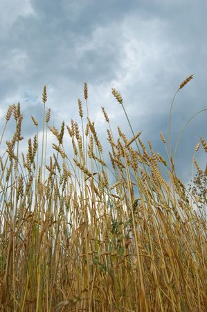 Rural landscape with a field of ripening wheat against the sky Stock Photo - 5953992