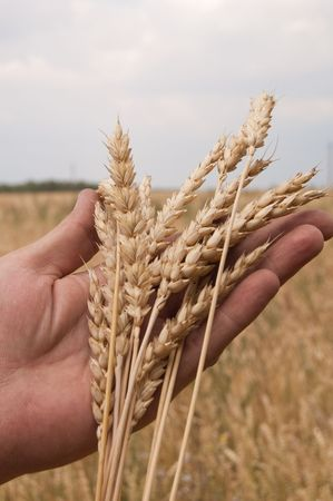 Wheat ears on a mans hand. A crop.