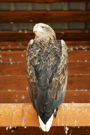 haliaeetus: Sea eagle white-tailed (Haliaeetus albicilla) in zoo