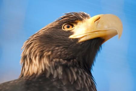 haliaeetus: Stellers sea eagle - Haliaeetus pelagicus Stock Photo