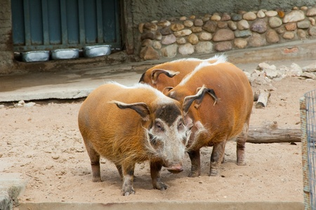 wild pigs in a zoo open-air cage Stock Photo - 8421006