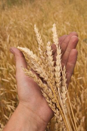 farme: Wheat ears on a mans hand. A crop.
