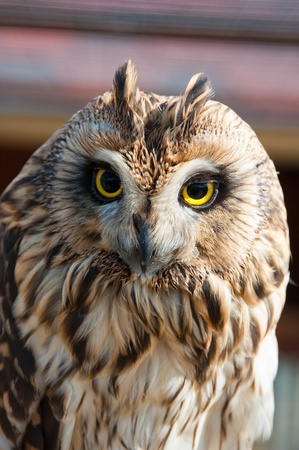 Closeup portrait of an owl. The focus is in his eyes. Stock Photo - 8426811