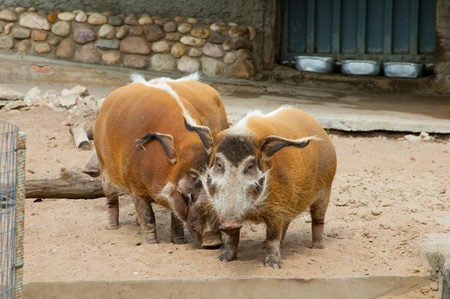 wild pigs in a zoo open-air cage Stock Photo - 8426921