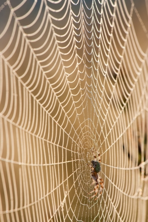 dewy spider web against dark foliage Stock Photo