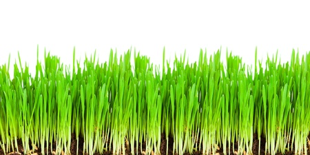 Sprouts of a young green grass. Isolated on white background photo