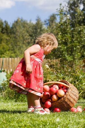 little girl collects the apples scattered on a grass in a basket Stock Photo - 11597918