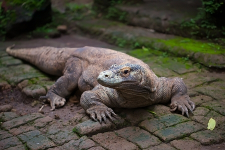 Huge dragon of Komodo, Bali, Malaysia photo