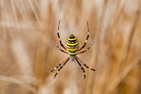 Yellow-black spider in her spiderweb - Argiope bruennichi Stock Photo - 15253760
