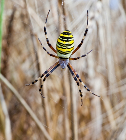 Yellow-black spider in her spiderweb - Argiope bruennichi Stock Photo - 15253759