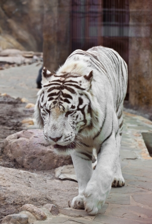 White tiger in Moscow the zoo. Rare, endangered species. In the wild nature doesn't meet photo