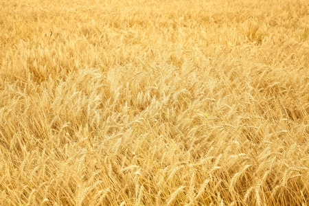 Close up of ripe wheat ears. Selective focus. Stock Photo - 15890951