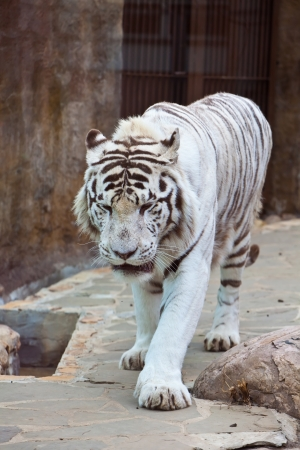 endangered species: White tiger in Moscow the zoo. Rare, endangered species. In the wild nature doesnt meet