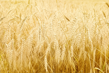Close up of ripe wheat ears  Selective focus Stock Photo - 18573262