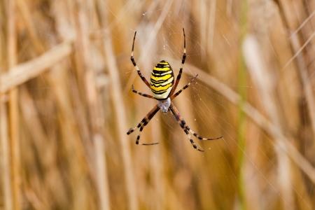 Yellow-black spider in her spiderweb - Argiope bruennichi Stock Photo - 18573251