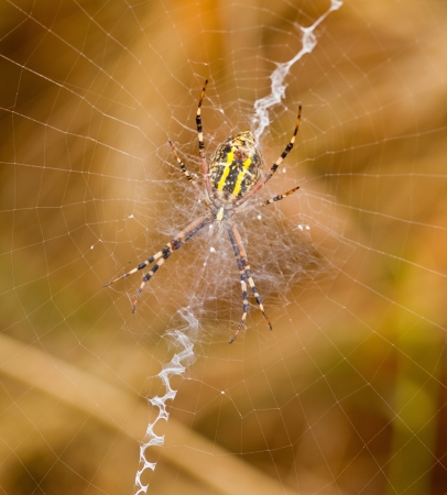 Yellow-black spider in her spiderweb Stock Photo - 18573247