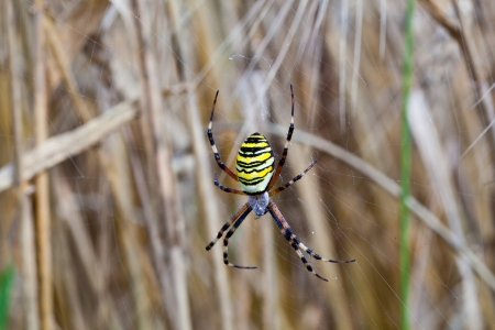 Yellow-black spider in her spiderweb - Argiope bruennichi Stock Photo - 22661193