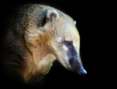 portrait of a very cute White-nosed Coati (Nasua narica). Diurnal, omnivore mammal
