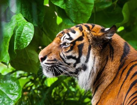 Portrait of a tiger in a green jungle. close-up