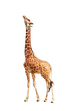 somali giraffe: Giraffe (Giraffa camelopardalis), isolated on white background