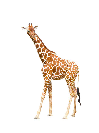 Portrait of a giraffe isolated on white background Stock Photo - 25159431