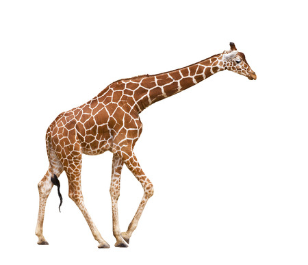 Giraffe (Giraffa camelopardalis), isolated on white background photo