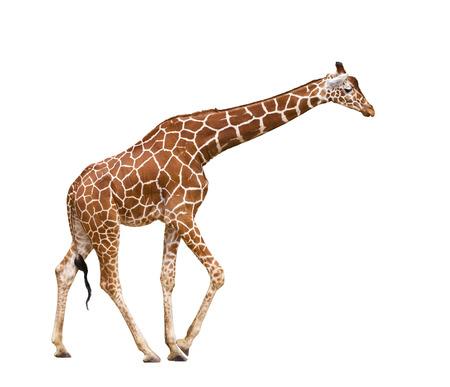 Giraffe (Giraffa camelopardalis), isolated on white background Stock Photo - 25159435