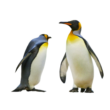 emperor: Emperor penguins. isolated on white background