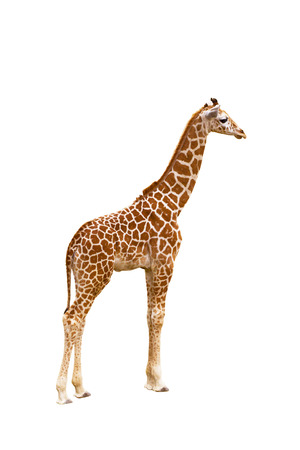 Giraffe (Giraffa camelopardalis), isolated on white  Portrait of a giraffe isolated on white  Stock Photo - 25914166