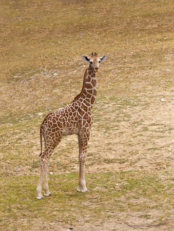 young giraffe in natural habitat photo
