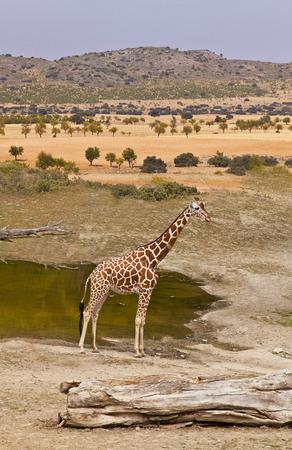giraffe standing on the shore of Lake