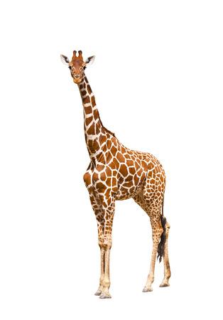 jirafa fondo blanco: Jirafa (Giraffa camelopardalis), aislado en blanco Retrato de una jirafa aislados en blanco Foto de archivo