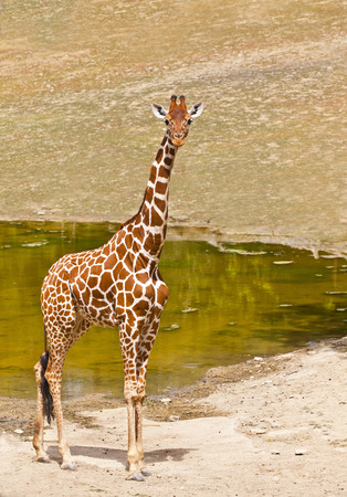 young giraffe is reflected in water, standing on the shore of Lake photo