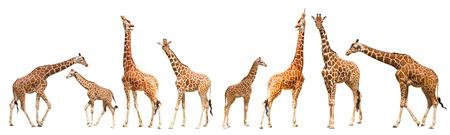 Giraffe (Giraffa camelopardalis), isolated on white  Portrait of a giraffe isolated on white