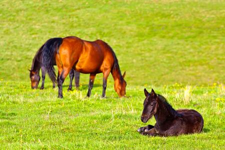 Zwei Pferde und schwarzes Fohlen auf grünem Gras