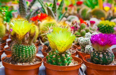 Different types of cactuses on a counter of shop