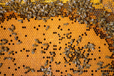 Work bees in hive Bees convert nectar into honey and close it in the honeycomb, and care for larvae Imagens