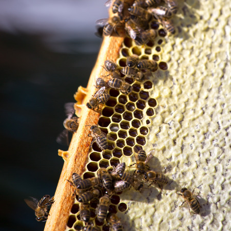 Work bees in hive Bees convert nectar into honey and close it in the honeycomb, and care for larvae Stock Photo